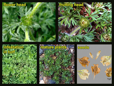 Life stages of Lawn burweed (spurweed)