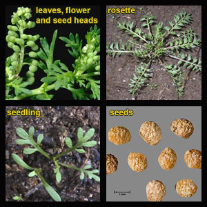 Life stages of Swinecress (Wartcress)