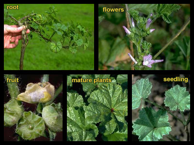 Life stages of Little mallow (cheeseweed)