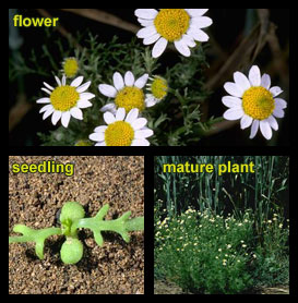Life stages of Mayweed chamomile
