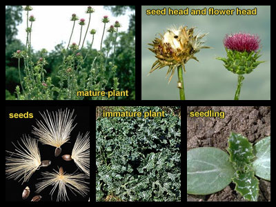 Life stages of Milkthistle
