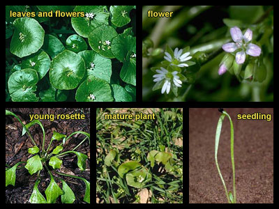 Life stages of Miner's lettuce