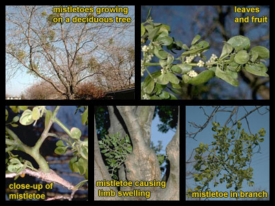 Life stages of Mistletoes