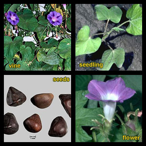 Life stages of Morningglories