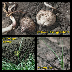 Life stages of Nutsedge