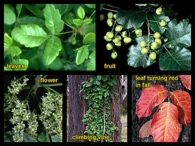 Life stages of Pacific poison-oak