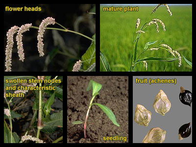 Life stages of Pale smartweed
