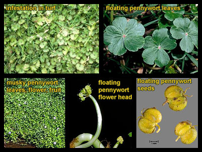 Life stages of Pennywort