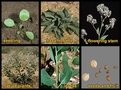 Life stages of perennial pepperweed