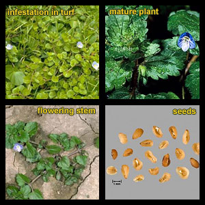 Life stages of Persian speedwell