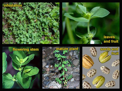 Life stages of Petty spurge