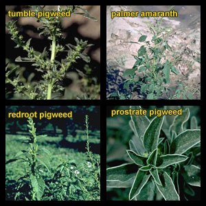 Life stages of Pigweeds