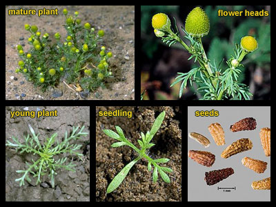 Life stages of Pineapple-weed