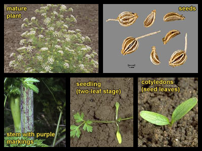 Life stages of buckhorn plantain