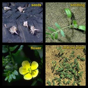 Life stages of Puncturevine