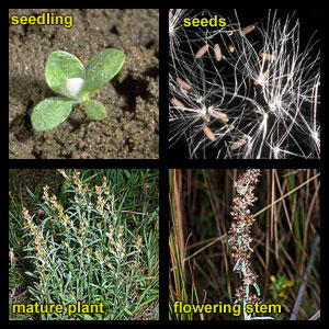Life stages of Purple cudweed