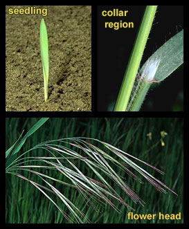 Life stages of Ripgut brome