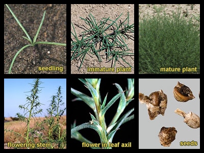 Life stages of Russian thistle