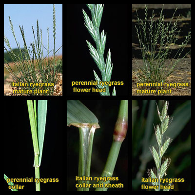 Life stages of Ryegrasses