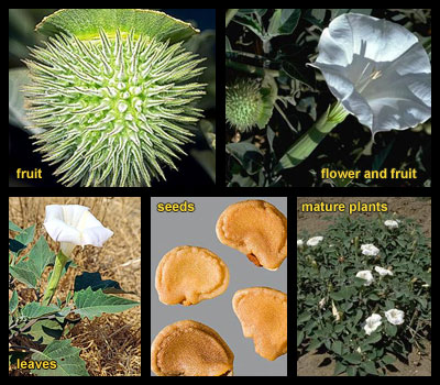 Life stages of Sacred datura