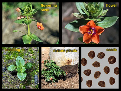Life stages of Scarlet pimpernel