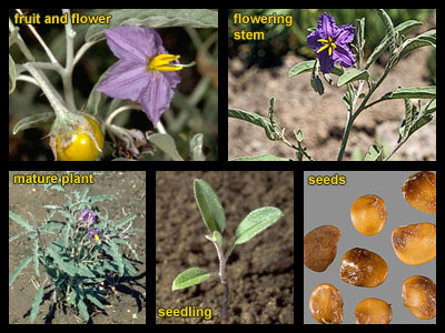 Life stages of Silverleaf nightshade