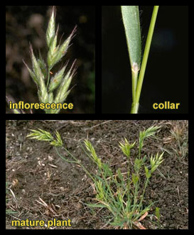 Life stages of Soft brome