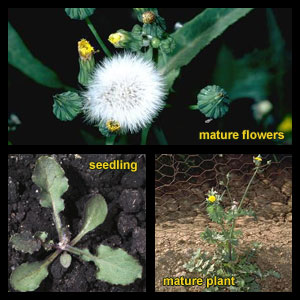 Life stages of Sowthistles