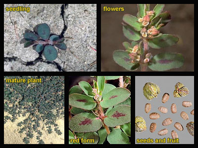 Life stages of Spotted spurge