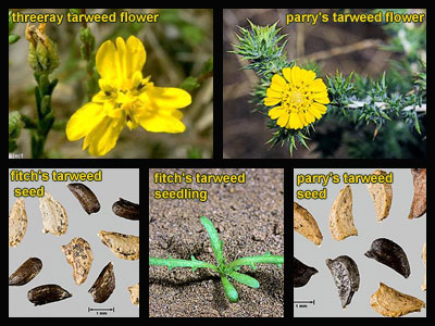 Life stages of Tarweeds
