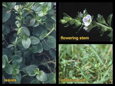 Life stages of thymeleaf speedwell