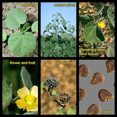Life stages of Velvetleaf