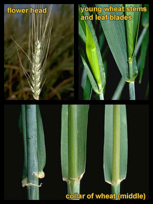 Life stages of Volunteer wheat