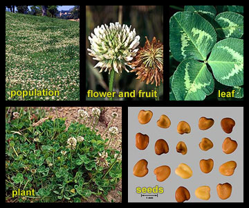 Life stages of White clover
