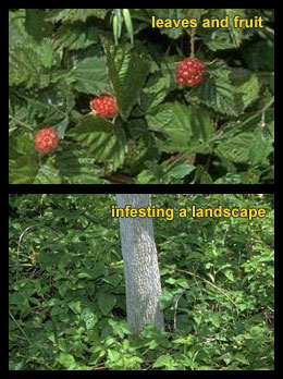 Life stages of Wild blackberries