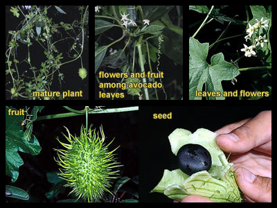 Life stages of wild cucumber