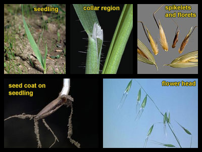 Life stages of Wild oat