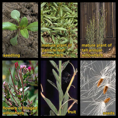Life stages of Willowherbs