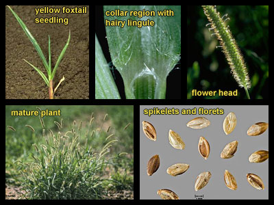 Life stages of Yellow foxtail