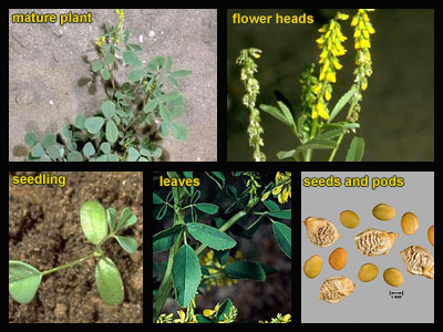 Life stages of Yellow sweetclover