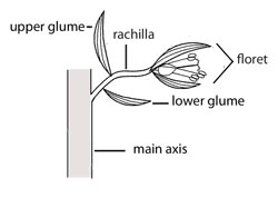 Illustration of membranous ligule