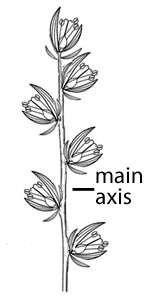 Main axis does not branch.