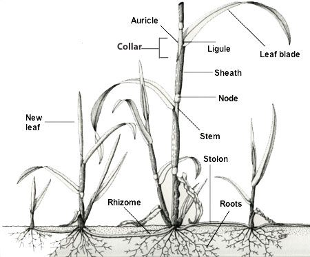 Weed PhotGallery—Grass identification characteristics