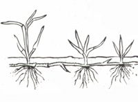 Illustration of plant with rhizomes