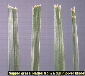 Photo Of Ragged Gr Blades From A Dull Mower Blade