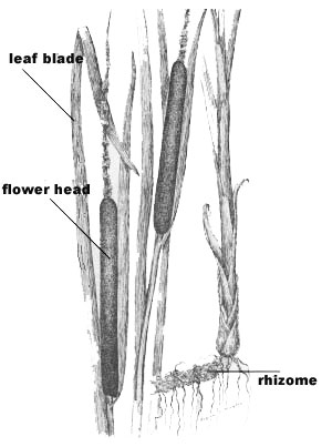 cattail plant parts