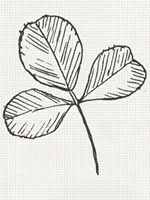 A compound leaf