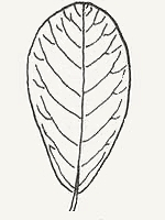 An obovate-shaped leaf