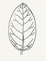 An ovate-shaped leaf