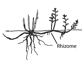 Creeping growth habit, spreading by underground rhizomes.